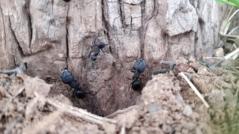 Le nid des fourmis photos stock