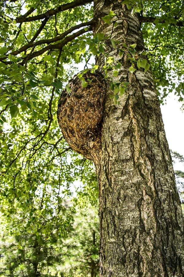 Le noeud sur le tronc d'arbre photo stock