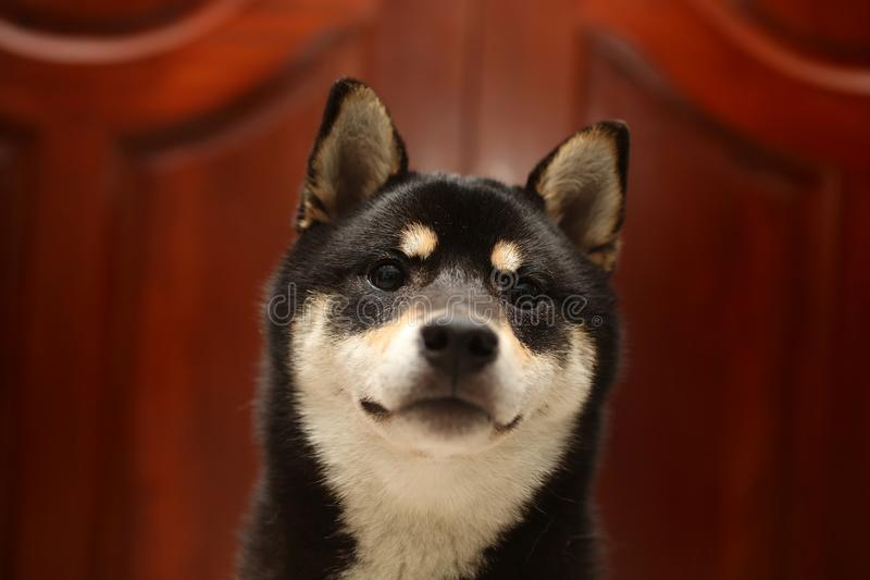 Le noir de couleur de Shiba Inu et se bronzent Inu de shiba de chiot Chien 6 mois image stock