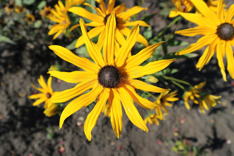 Le noir de Goldsturm de fulgida de Rudbeckia a observé les fleurs d'or-oranges de Susan photographie stock