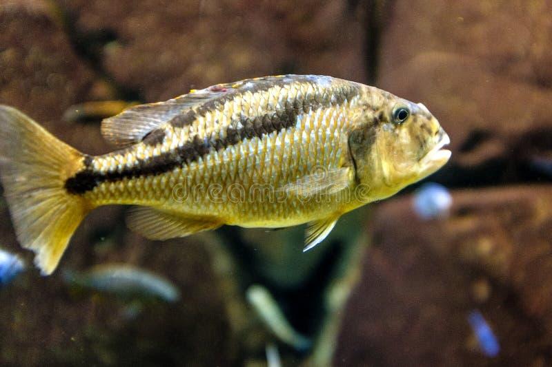 Le noir simple a repéré le Cichlid du Malawi - pêchez du Mala africain images stock