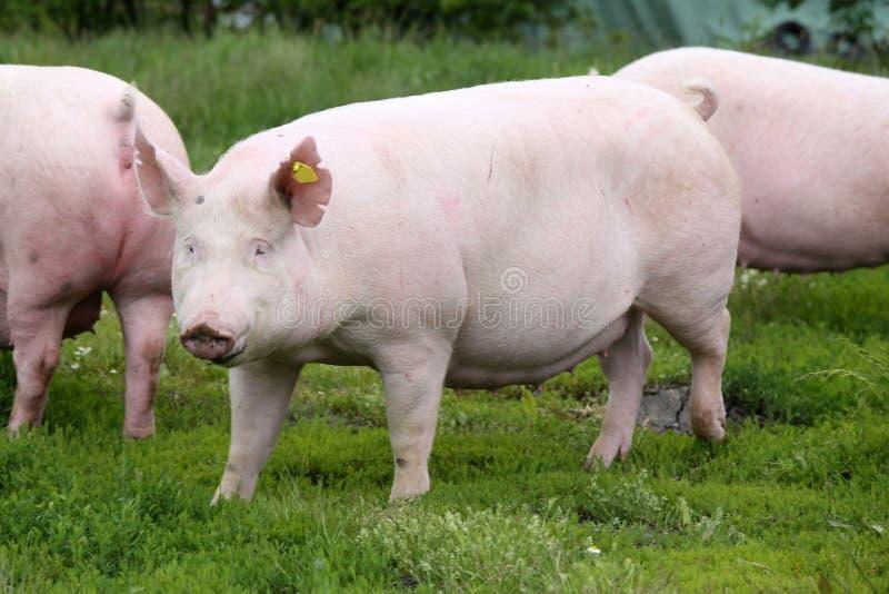 Le nom hongrois de race de porc est grande pose blanche sur le pré photo libre de droits
