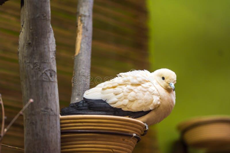 Le nom latin Ducula de pigeon coloré par deux bicolore se repose sur le nid image stock