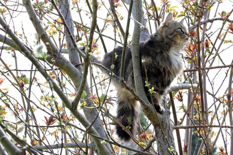 Le Norvégien Forest Cat est monté un arbre photos libres de droits