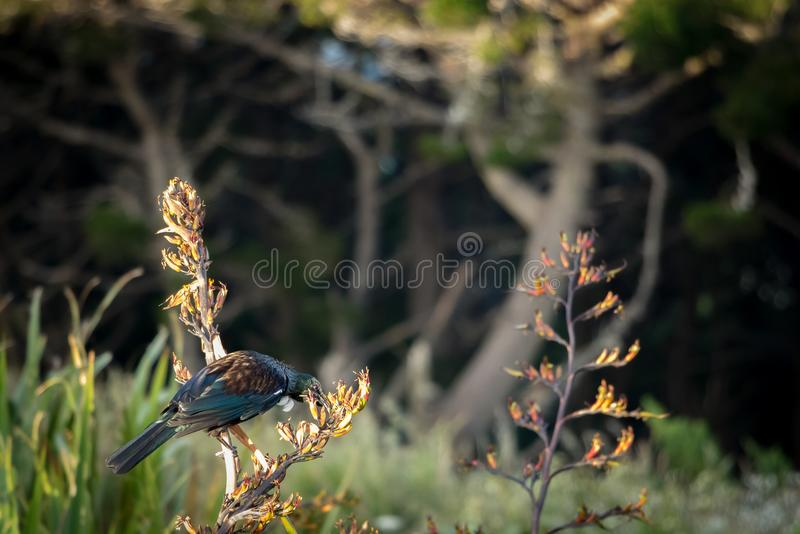Le Nouvelle-Zélande Tui Feeding On Flax Plant photographie stock