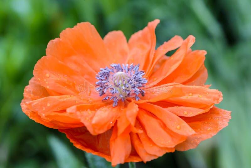 Le noyau de la fleur est pavot rouge avec beaucoup de stamens image libre de droits