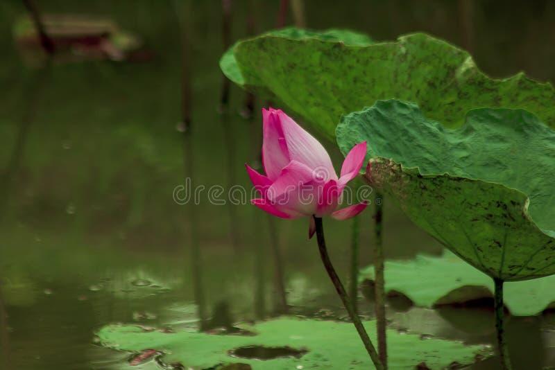 Le nucifera de Nelumbo est des espèces roses fleurissantes d'un lotus image stock