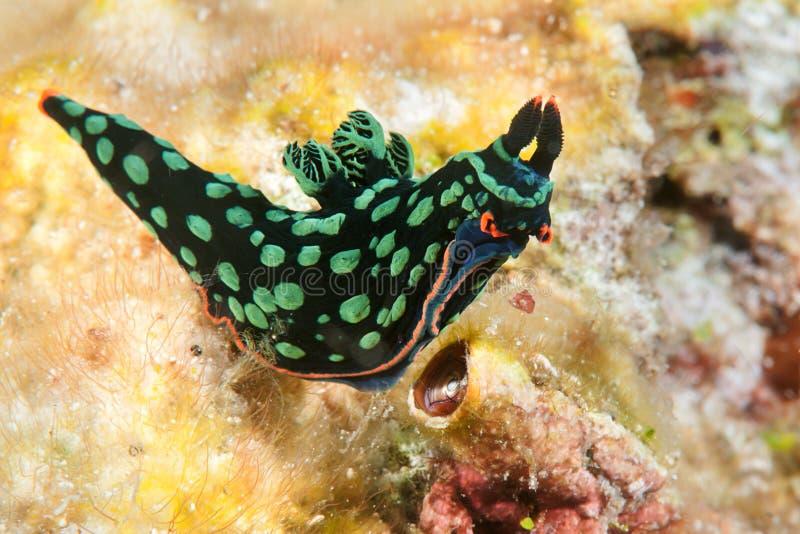 Le nudibranch de dorit de Nembrotha, lingot au néon, kubaryana de Nembrotha se déplace sur le corail de Bali images libres de droits