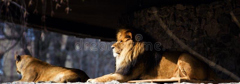 Le?o poderoso bonito fotos de stock royalty free
