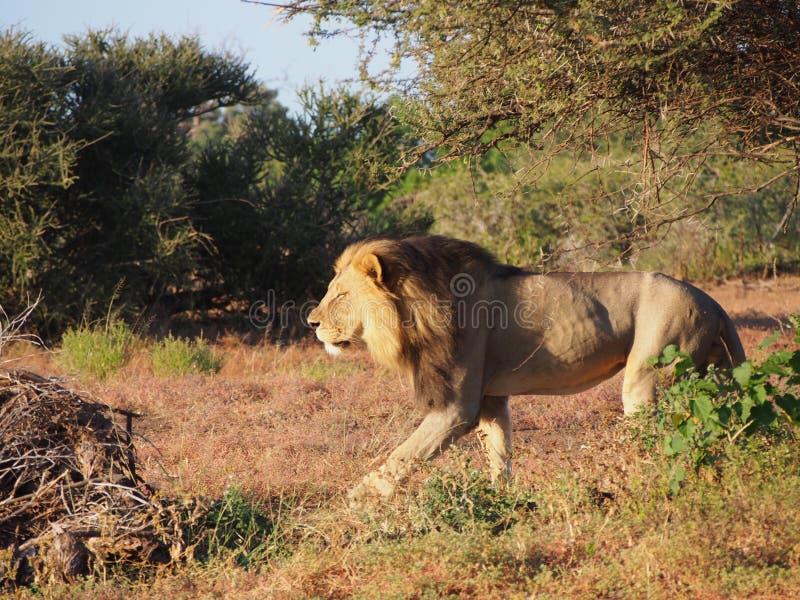 Le?o que anda na plan?cie de Botswana foto de stock