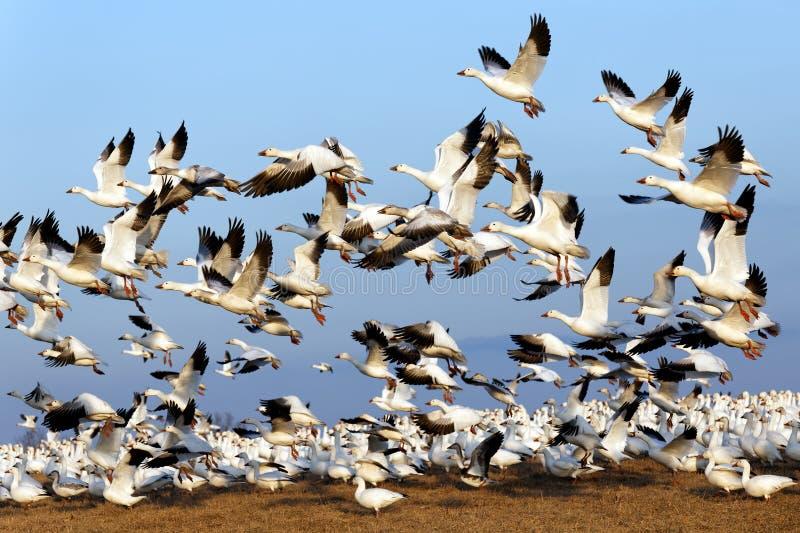 Le oche polari di migrazione volano su in cielo blu fotografia stock