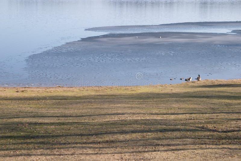 Le oche si avvicinano al lago congelato metà immagine stock libera da diritti