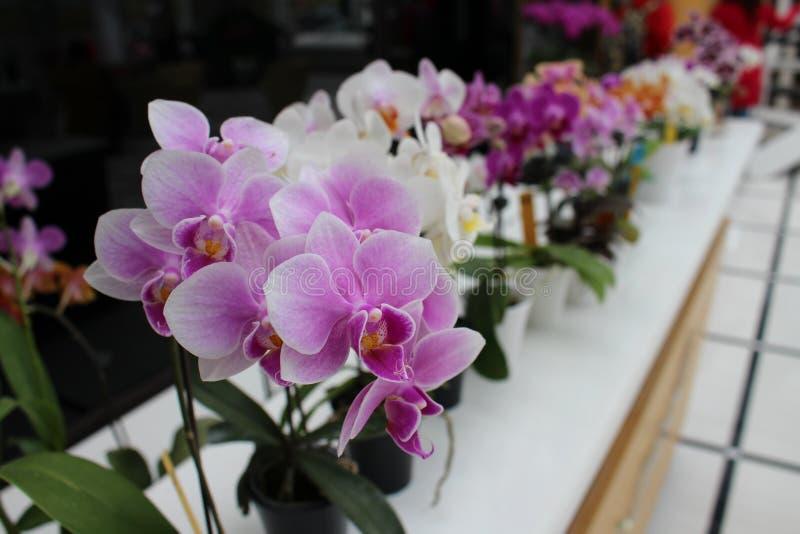 Le orchidacee Taiwan di orchidaceae graden immagini stock libere da diritti