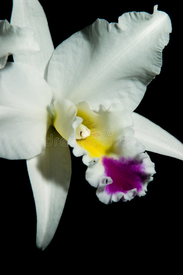 Le orchidee fiorisce (SP di Cattleya) fotografia stock
