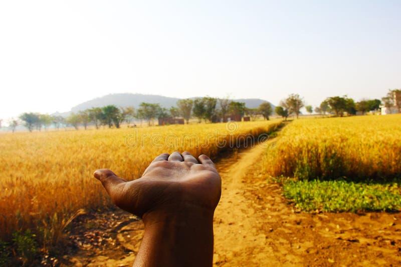 Le orecchie del grano in mani dell'agricoltore si chiudono su sul fondo del campo fotografia stock