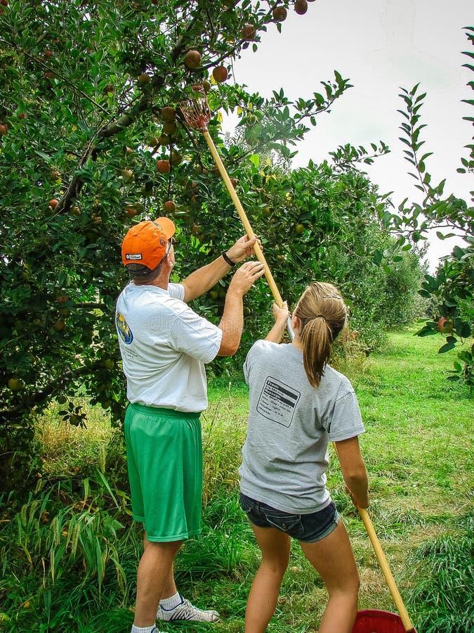Le père et la fille sélectionnent des pommes dans un verger photos libres de droits