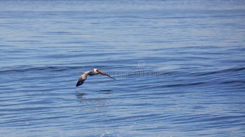 Le pélican de Brown glisse bas au-dessus d'un océan pacifique calme images libres de droits