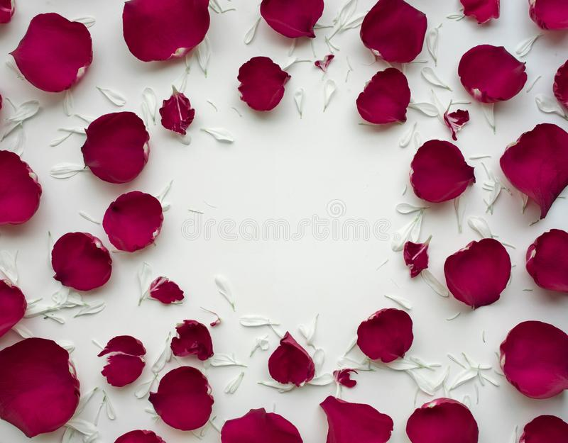 Le pétale de rose fleurit avec l'espace de copie sur le fond blanc photos libres de droits