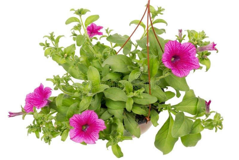 Fleurs de pétunia photo libre de droits