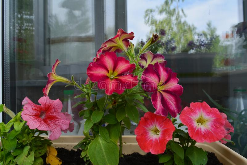 Le pétunia fleurit dans le pot près de la fenêtre avec des réflexions Petit jardin de floraison urbain photographie stock