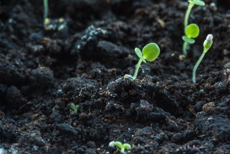 Le pétunia fleurit des jeunes plantes poussant à l'intérieur photos libres de droits