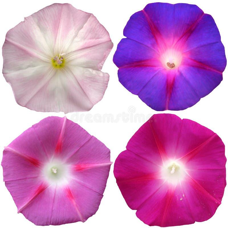 le pétunia fleurit la collection d'isolement au-dessus du fond blanc photos stock
