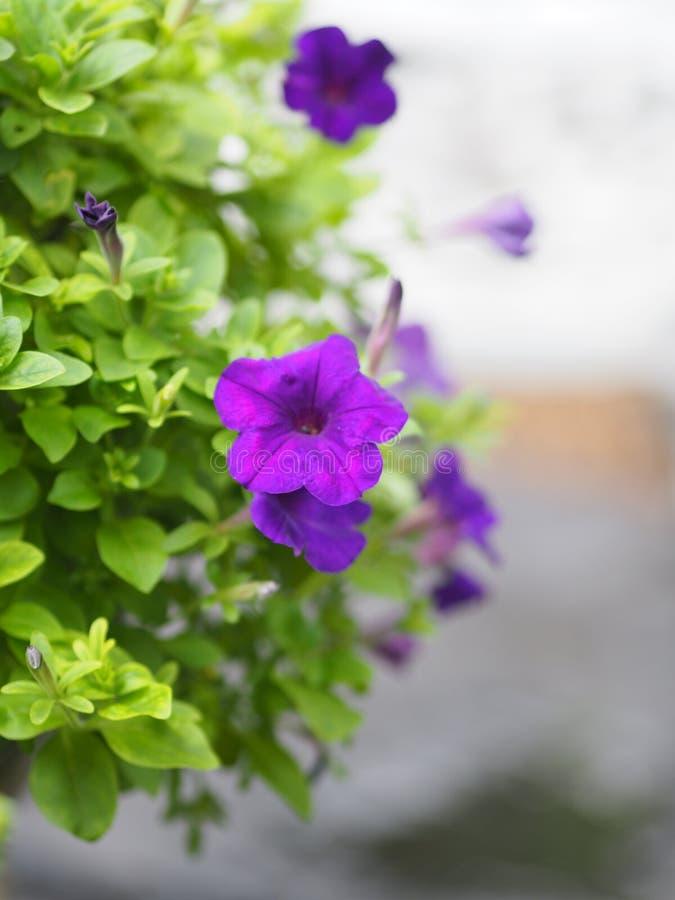 Le pétunia Hybrida, Solanaceae, nom le bouquet que pourpre de fleur beau sur brouillé des fleurs de fond de nature sont célibatai photos libres de droits