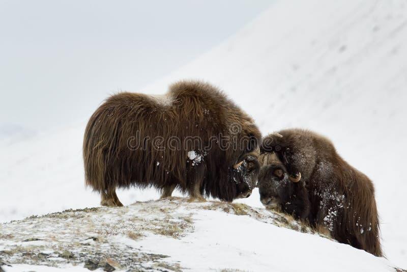 Paia del Muschio-bue di combattimento in Norge fotografie stock