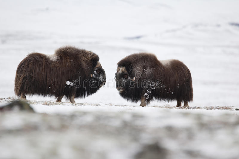le paia del Muschio-bue in Norge nella nazione di Dovrefjell parcheggiano immagine stock libera da diritti