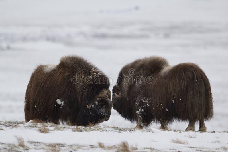 le paia del Muschio-bue in Norge nella nazione di Dovrefjell parcheggiano fotografia stock