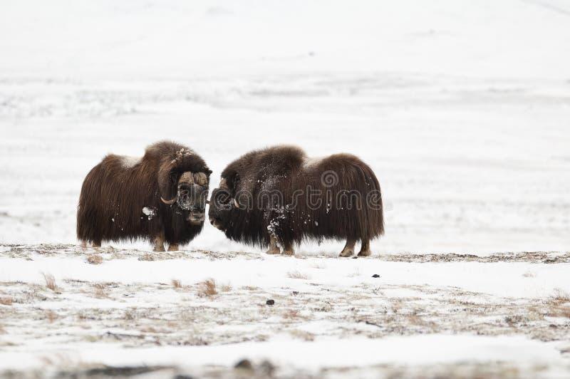 le paia del Muschio-bue in Norge nella nazione di Dovrefjell parcheggiano fotografie stock