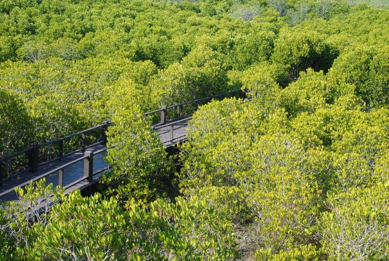 Le palétuvier de forêt images stock