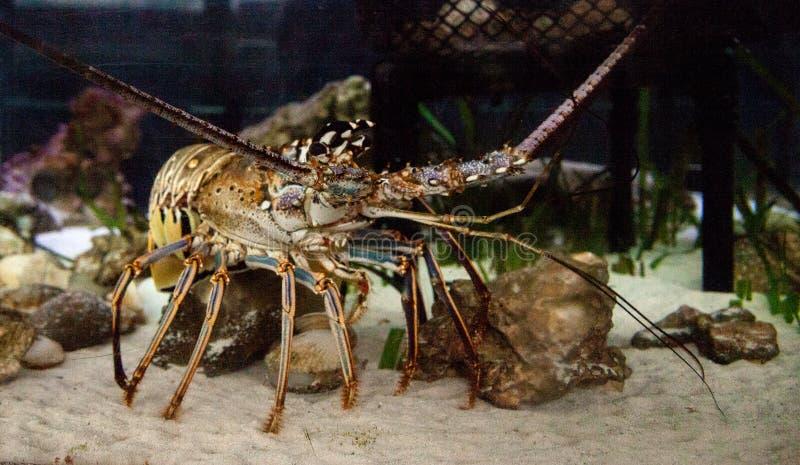 Le Palinuridae également appelé de homard de roche de langouste forage image stock