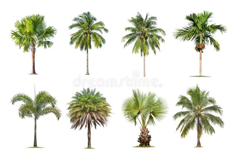 Le palme e della noce di cocco hanno isolato l'albero su fondo bianco, la raccolta degli alberi fotografia stock libera da diritti