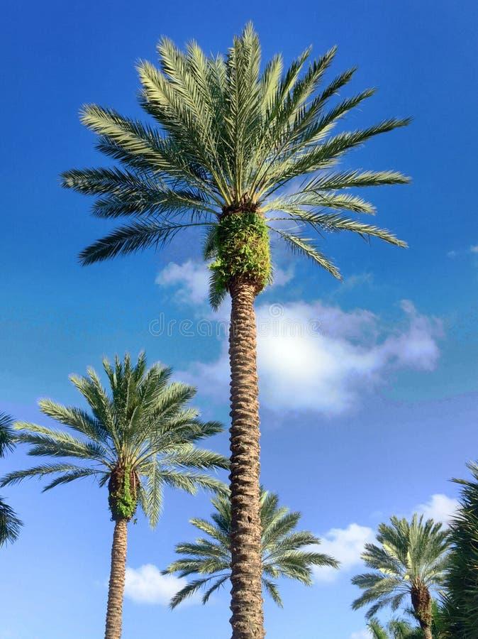 Le palme stanno alte immagine stock