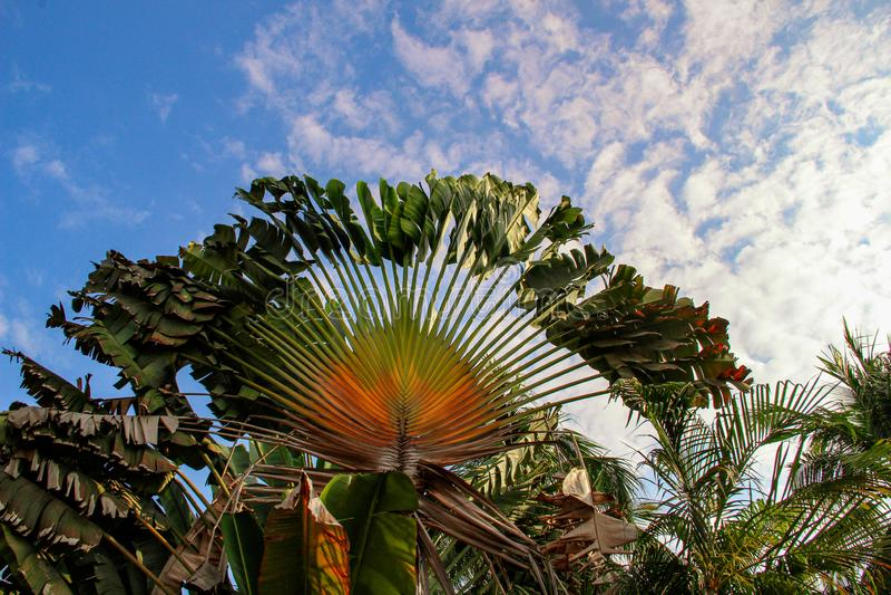 Le palmier du voyageur dans Sayulita Nayarit, Mexique images libres de droits