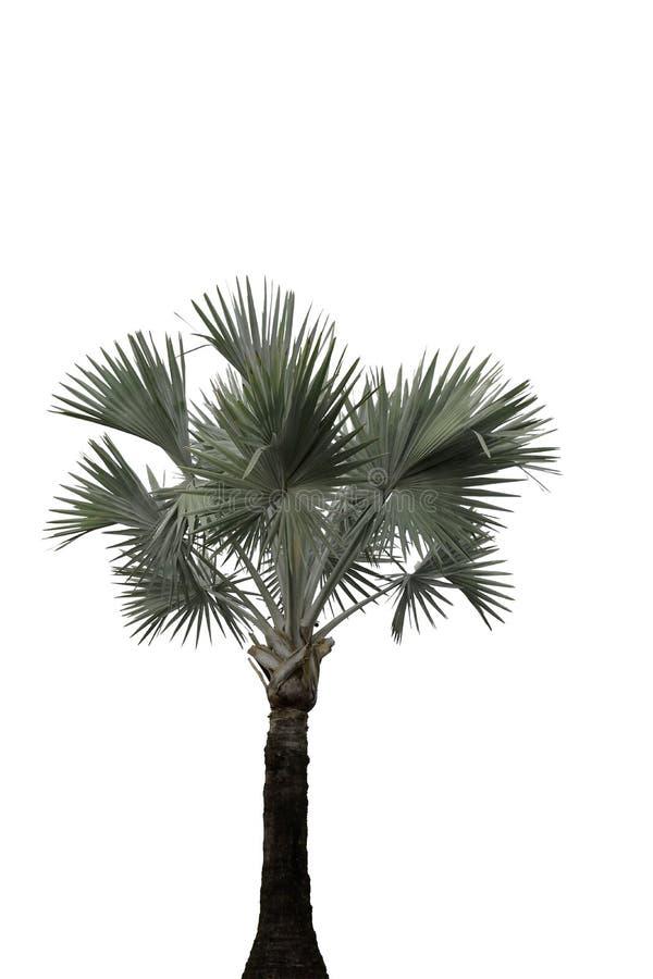 Le palmier a isolé seul stan images libres de droits