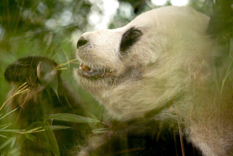Le panda femelle mange les feuilles en bambou vertes images libres de droits