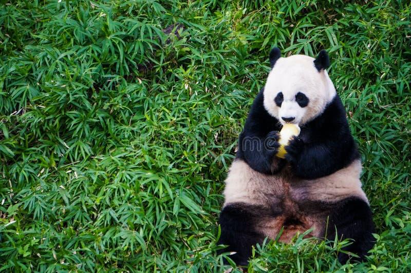 Le panda géant mangeant de la nourriture du fruit au milieu du pré vert dans le zoo national de Smithsonien reposent le côté de l photo stock
