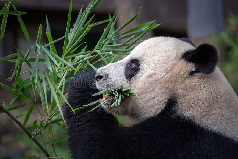 Le panda mange les feuilles en bambou photographie stock