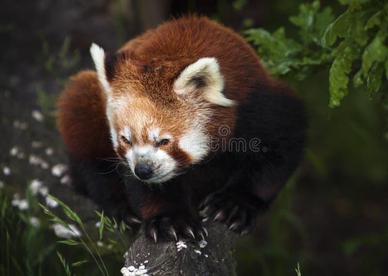 Le panda rouge, Firefox photo libre de droits
