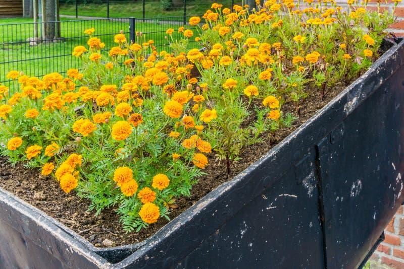 Le panier complètement des oeillets oranges fleurit la vue de côté images stock