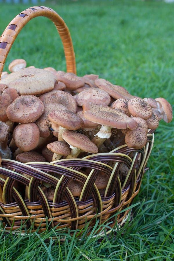 Le panier des champignons sur l'herbe, beaucoup de champignons de consommation dans le panier s'étendent photographie stock