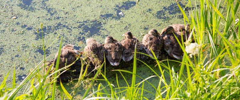 Le panorama des jeunes canards de séance de campeurs, se dorent au soleil, sur un fond d'étang vert Foyer s?lectif images stock