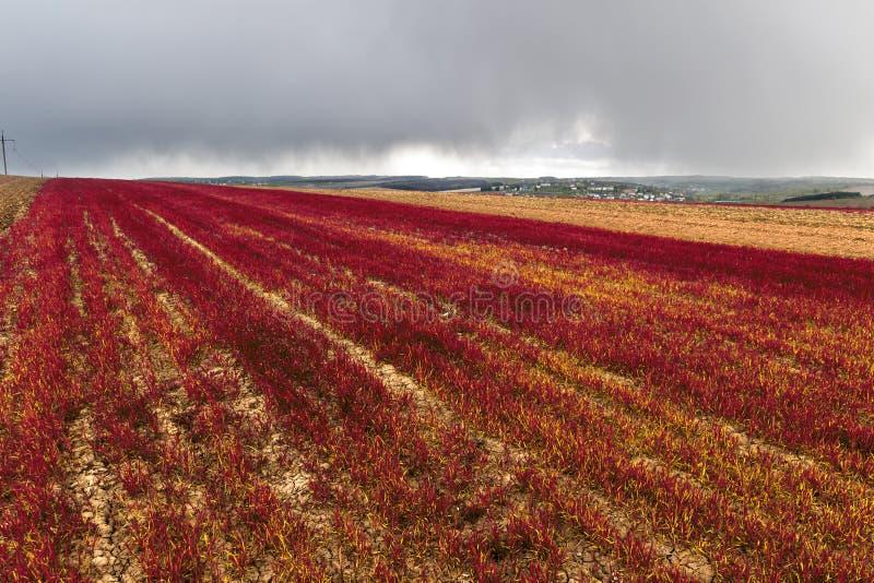 Le panorama large des usines rouges d'amaranthe mettent en place sur le fond du village vert éloigné sous le ciel bleu-foncé orag photographie stock