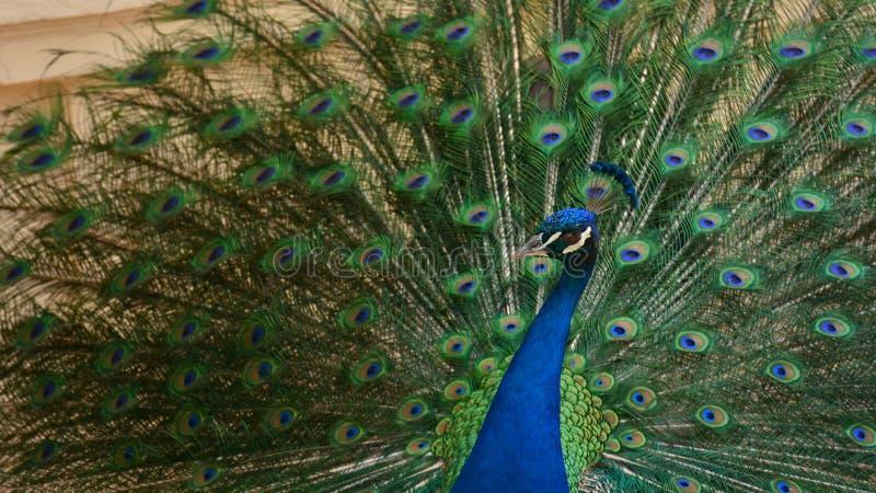 Le paon avec des plumes de queue s'ouvrent images libres de droits