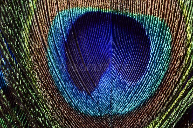 Le paon fait varier le pas du macro photos libres de droits