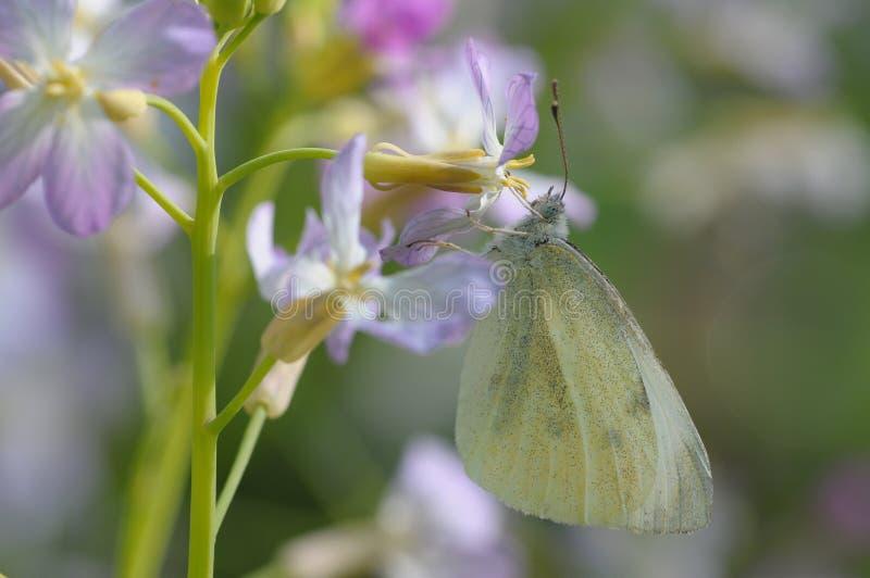 Le papillon aime des fleurs image libre de droits