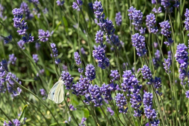 Le papillon blanc flotte autour des têtes de fleur à une ferme de fleur dans le Cotswolds, Snowshill R-U photo libre de droits