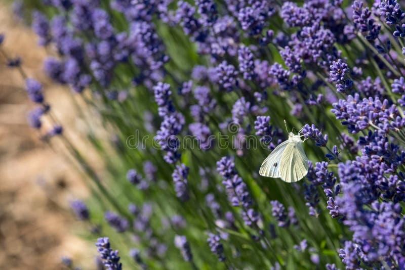 Le papillon blanc flotte autour des têtes de fleur à une ferme de fleur dans le Cotswolds, Snowshill R-U photographie stock libre de droits